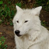 the arctic wolf (canis lupus arctos) also called polar wolf or white wolf is a mammal of the canidae family and a subspecies of the gray wolf. it is often confused with the tundra wolf which can be found throughout northern europe and asia. arctic wol poster