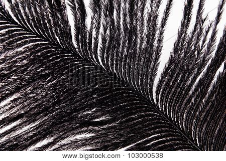 feather plumage black texture