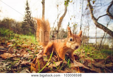 Squirrel red fur funny pets autumn forest on background