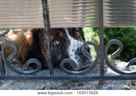 Sad Dog Breed  Saint  Bernard .