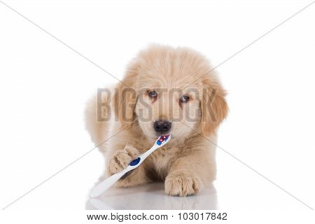 Golden Retriever Puppy With Strabismus Brushing His Teeth Looking Straight Isolated On White