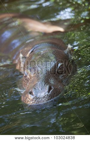 Pygmy Hippo Playing