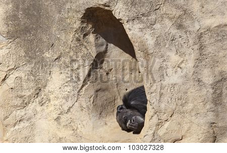 Chimpanzee In The Hole