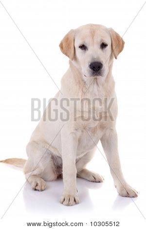 labrador retriever puppy seated on a white background poster