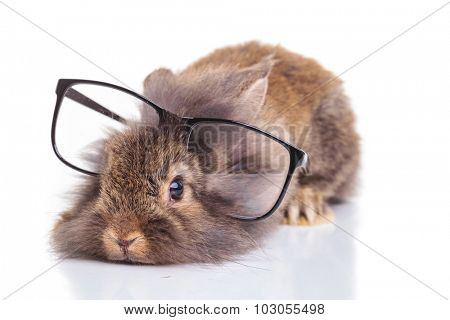 Cute lion head rabbit bunny lying with his head on the floor while wearing a pair of glasses.