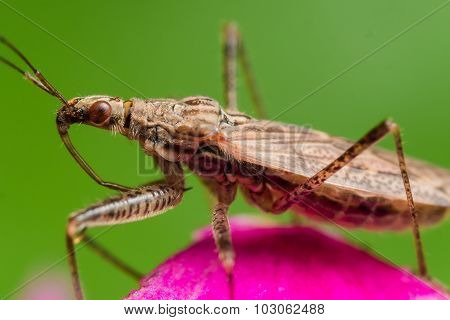 Profile View Of Spined Assassin Bug With Red Eyes On Pink Flower With Green Background