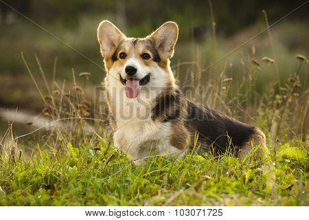 dog Welsh Corgi poster