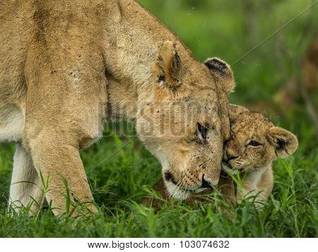 Lioness and cub cuddling, Serengeti, Tanzania poster