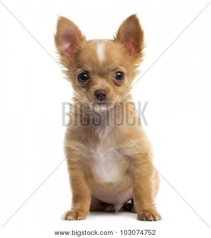 Chihuahua puppy in front of a white background