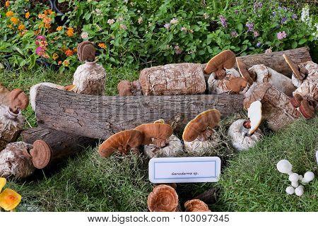 Ganoderma Lucidum In Exhibition