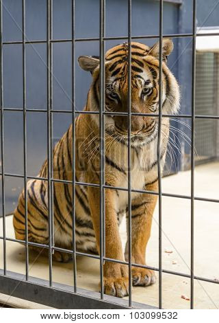 BERLIN, GERMANY - AUGUST 06, 2013: Sad Tiger sitting behind bars cage and looking at the visitors