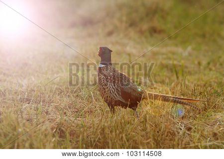 Wild Pheasant In Sunset Light