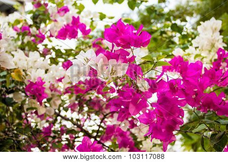 Two Tone Pink And White Blooming Bougainvilleas