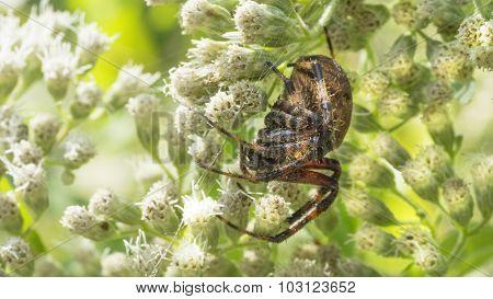Cross Orbweaver Spider with Web.