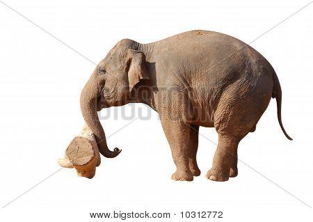 asian elephant pushing the log isolated on white poster