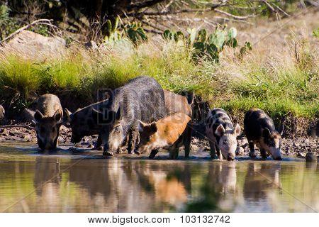 Thirsty Pigs