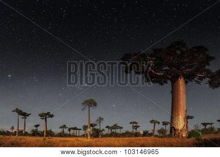 Baobab trees and starry sky. Madagascar