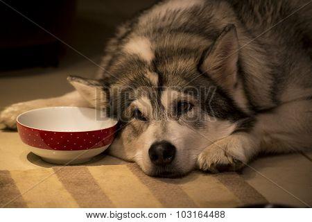 Malimute Dog
