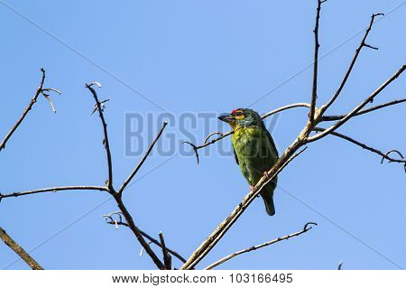Crimson-fronted Barbet In Ella, Sri Lanka