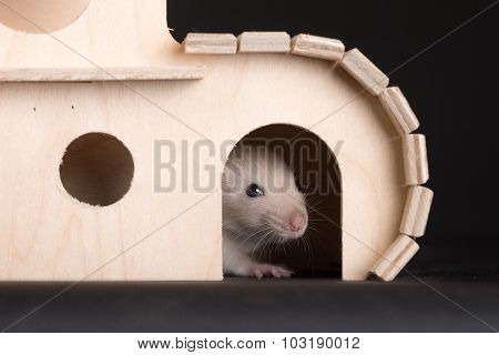 Baby Rat In Wooden House