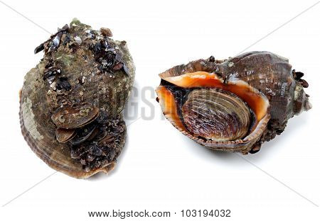 Two Veined Rapa Whelk Covered With Small Mussels