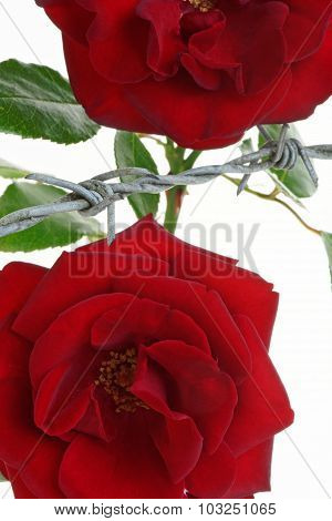 Imprisoned Roses