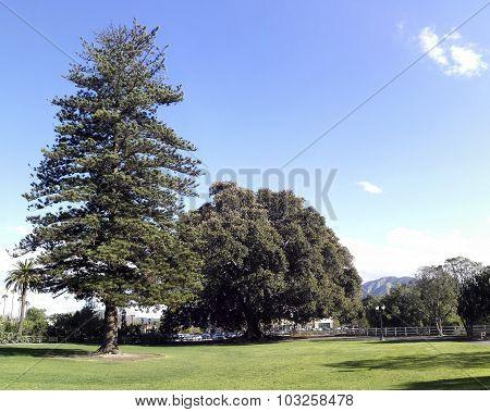 Big Fig And Norfolk Island Pine