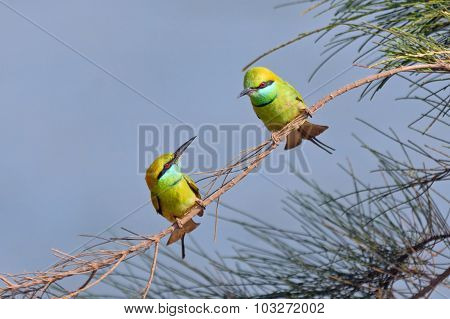 Little Green Bee-eaters Couple Courtship In Goa, India