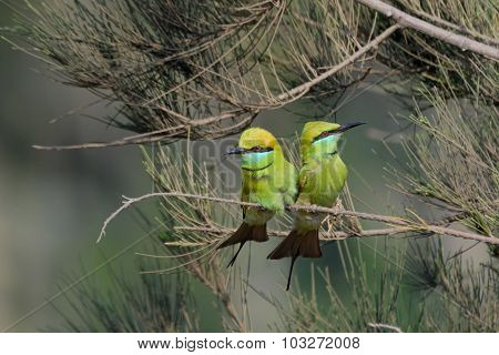 Little Green Bee-eaters  Couple Courtship In The Garden At Goa Beach, India