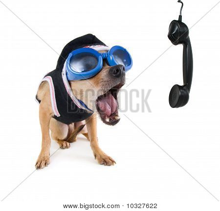 A Cute Chihuahua On The Phone
