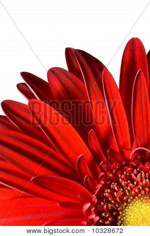 Flower part petals close up. Gerber.
