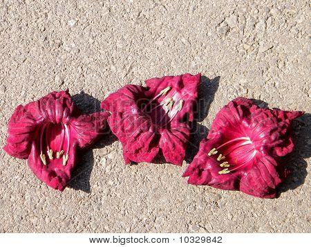 Or Yehuda Sausage Tree Flowers October 2010