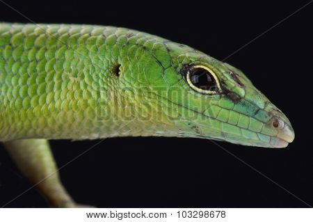 The Emerald skink (Lamprophis smaragdina) is a semi arboreal lizard species found on Papua New Guinea and Irian Jaya. poster