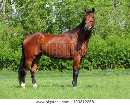 Beautiful sorrel racehorse walks in stud farm