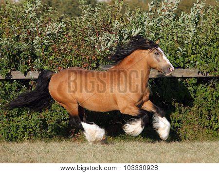 Tinker traveller pony gallops in evening pasture