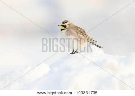 Horned Lark In Snow