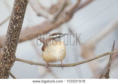 Perching Wren