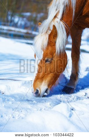Brown Horse Haflinger in snowy pasture. horse that eats snow.