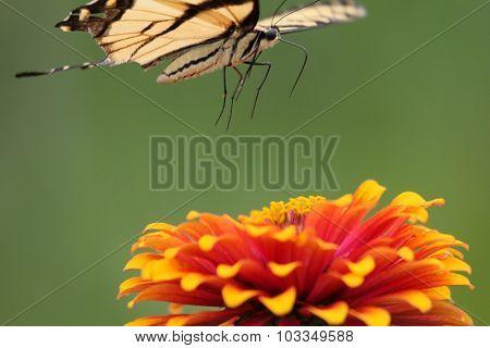 Swallowtail Jump