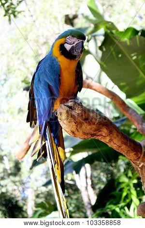 Arara azul selvagem