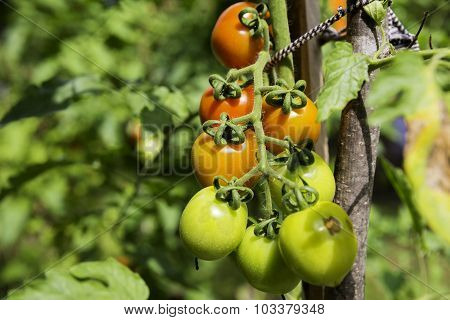 Bunch Of Green And Red Organic Cheery Tomato Plant With Rain Drops On A Plant