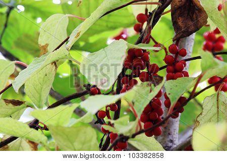 wild berry lemongrass