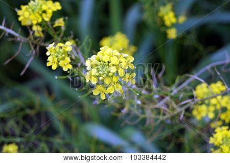 Bittercress Flowers