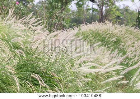 Imperata Cylindrica Beauv Of Feather Grass In Garden