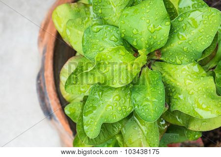 Top view, Green Euphorbia milii leaf with dewdrop