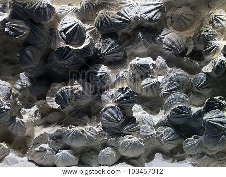 Seashell Fossils
