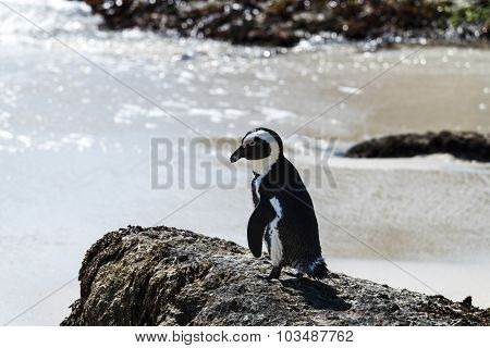 African Penguins (spheniscus Demersus)