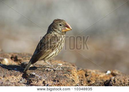 Ground Finch