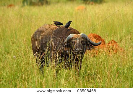 Cape Buffalo Hiding In The Grass
