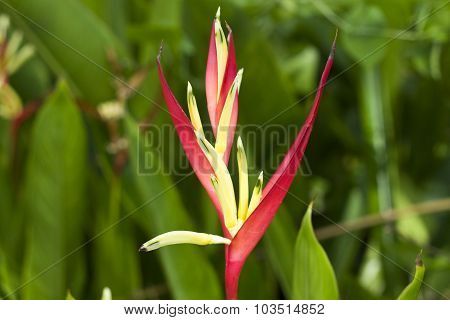 Close up of tropical red and yellow flower in garden poster